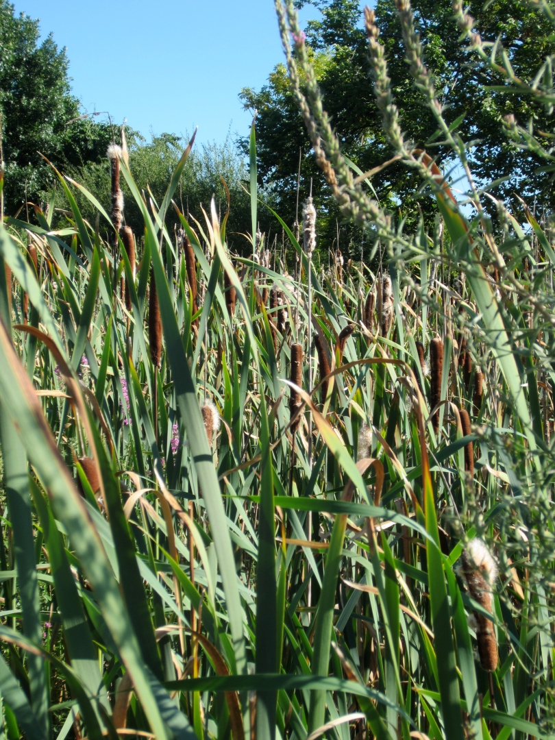 You can eat the young shoots and green flower stalks of cattails before they turn brown.