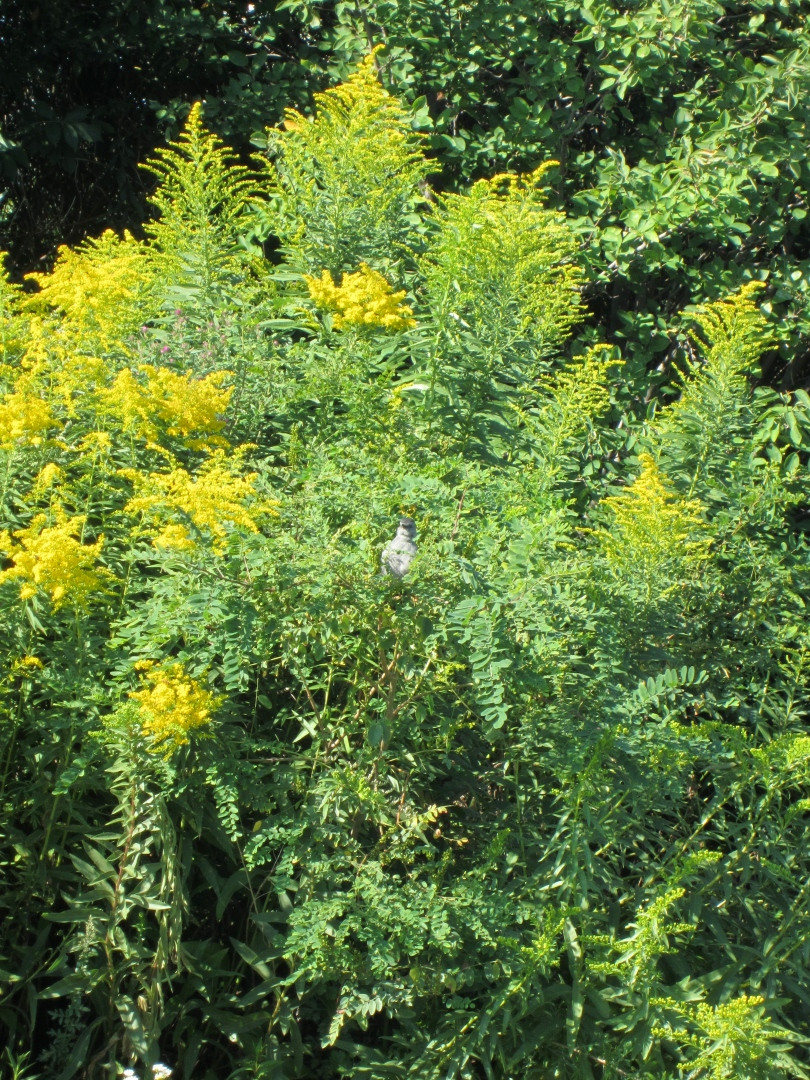 Gray catbird hiding in the goldenrod.