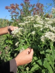 Boneset, with its white flowers and connected leaves, is poisonous to humans but used in traditional medicine.