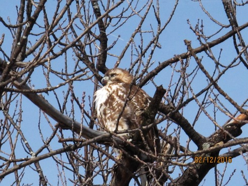 Red-Tailed Hawk, Magazine Beach