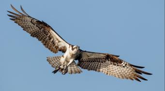 Flying Ospray