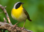 common yellow throat warbler